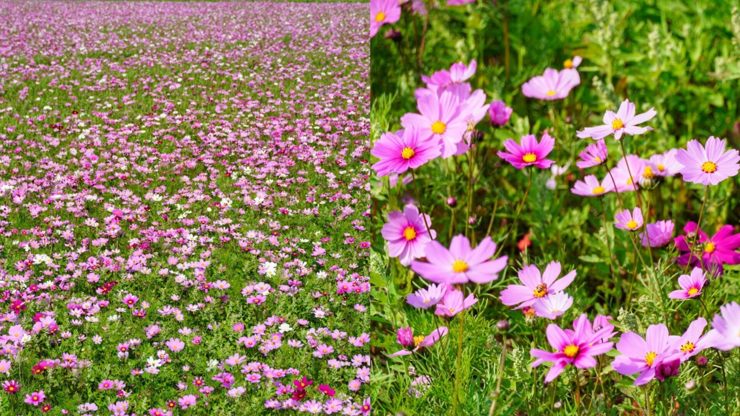 【2021嘉義太保花海節】粉白色波斯菊超美花海!浪漫滿分的拍照景點|嘉義景點